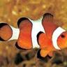 Clownfish for Skype logo